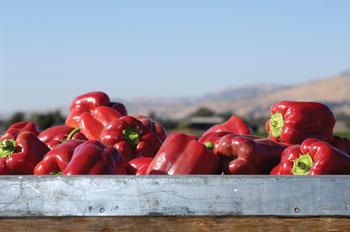 Jeff's Naturals - Bell Pepper Harvest